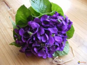 violettes-visoflora-24323